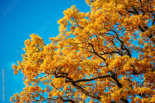 obraz dibond Bright orange oak leaves against the blue sky background
