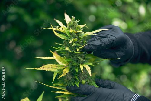 Photo  Marijuana growing, planting cannabis, holding it in a hand