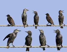 Common Starlings On Electrical...