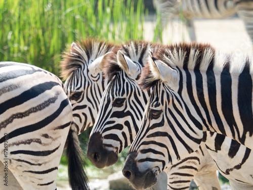 Photo Stands Zebra グラントシマウマ