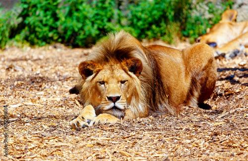 Zdjęcie XXL Piękny lew odpoczywa w świetle słonecznym. rozmycie tła.