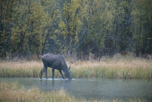Moose Drinking Water In Lake At Northern Rocky Mountains Provincial Park