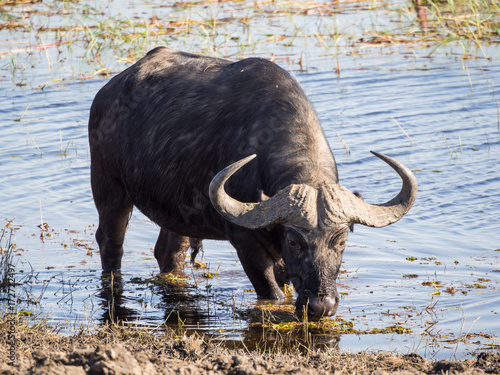 Staande foto Buffel Huge water buffalo with impressive horns at water of Chobe River National Park, Botswana, Southern Africa