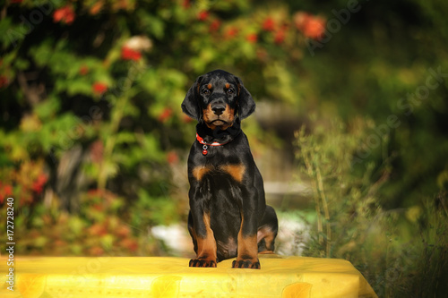 Funny Puppy Doberman With Uncropped Ears Sitting On Yellow Tulle On