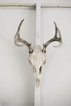 Deer Skull Hanging On White Wall In Studio