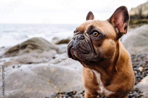 A Brown French Bulldog Puppy At A Rocky And Overcast New