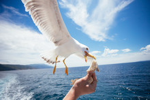 Men Hand Feeding Seagull With ...