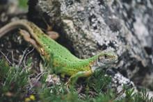 Close Up Of Green Lizard