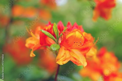 Plakat Pomarańczowi Rododendronowi kwiaty kwitnie outdoors w ogródzie w lecie