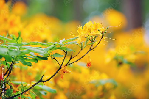 Fotomagnes Żółci Rododendronowi kwiaty kwitnie outdoors w ogródzie w lecie