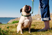 A Cute Pug Puppy Sitting Outside By The Ocean With Its Owner