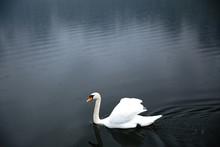 White Swan Floating On Lake
