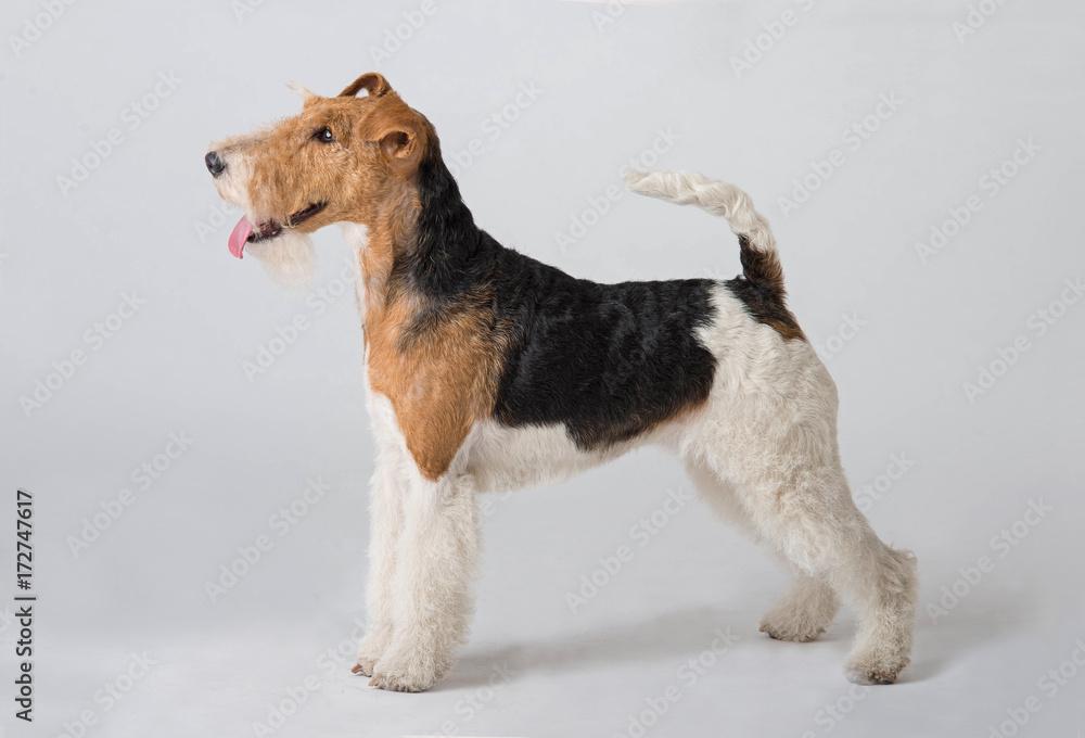 Fototapety, obrazy: fox terrier dog