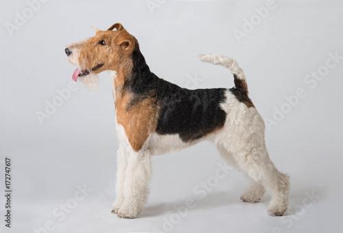Photo fox terrier dog