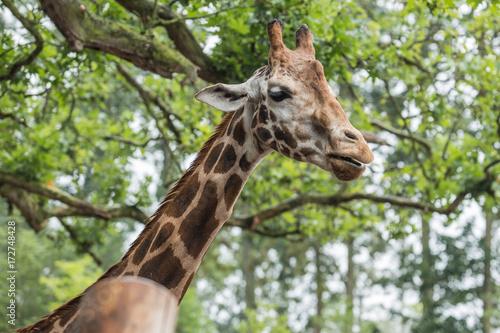 girafe Poster