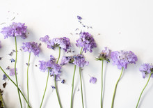 High Angle View Of Wilting Pincushion Flowers (scabiosa) On White Background (selective Focus)
