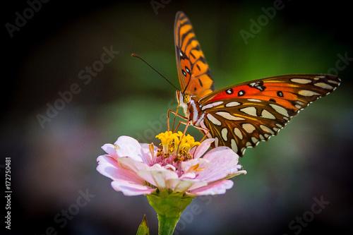 Plakat Butterfly Macro