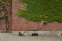 Brick Wall Covered With Green Ivy Leaves