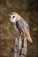 Barn Owl (tyto Alba) Perched O...
