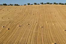 Bales Of Straw In Harvested Wh...