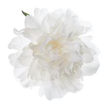 Isolated White Peony Flower.