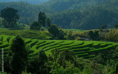 Green terraced rice field in Pa Pong Pieng. Chiang Mai ,Thailand.