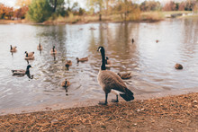 A Goose In A Park In The Fall