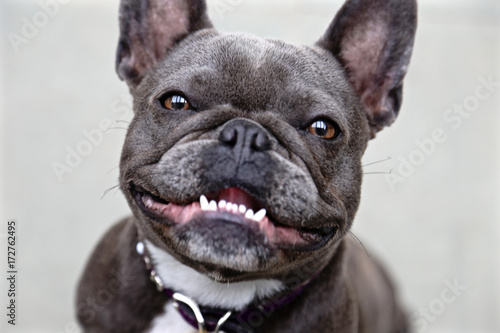 Fototapeta french bulldog portrait