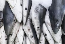 Captured Blue Sharks