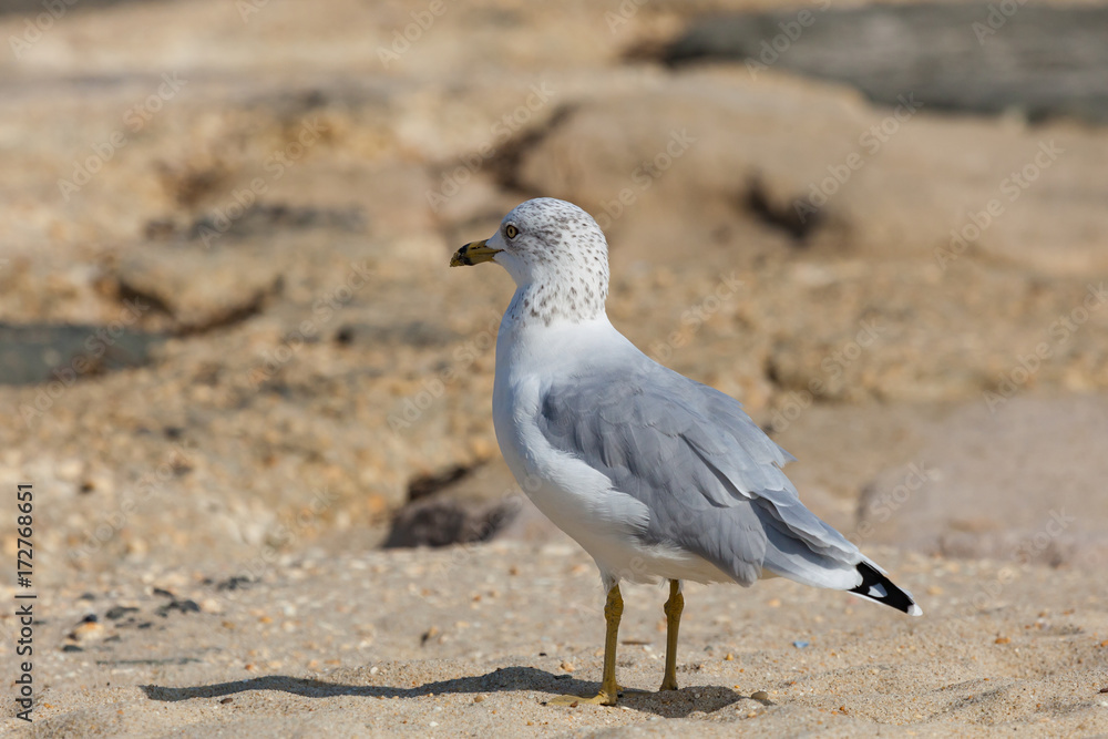 Sea Gull on Jetty