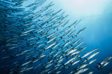 Diving With School Of Barracuda