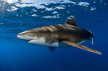 Pregnant Oceanic Whitetip Shark