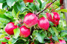 Gloster Apple Tree Branch With Apple After Rain