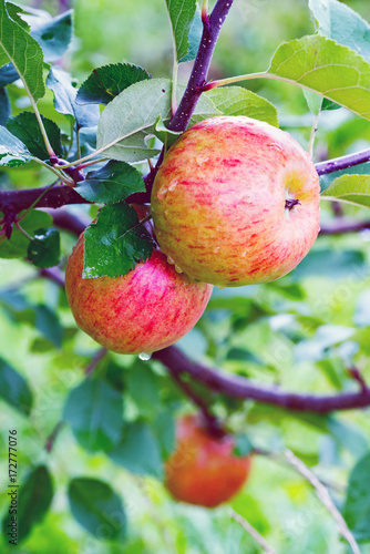 Topaz apple tree branch  with  fruit in a garden after rain.