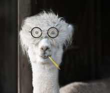 Genius Alpaca With Glasses And...