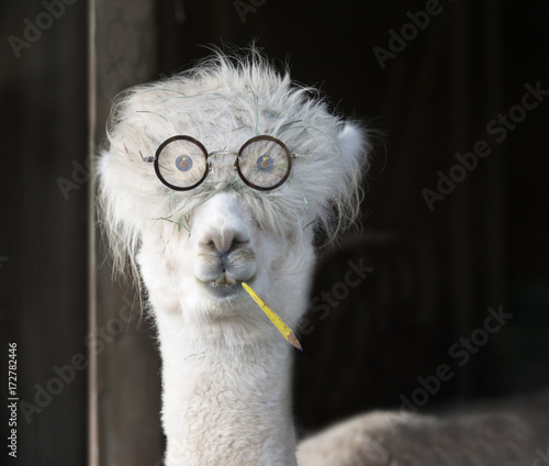 Genius alpaca with glasses and a pencil