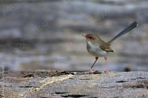 Valokuva Female Superb Fairy Wren