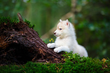 Husky Puppy In A Wild Forest