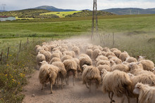 A Flock  Of Sheep Running On A...