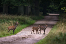 Female Sika Deer With Two Fawn...