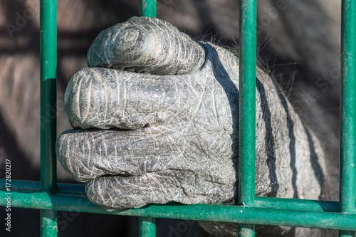 Zdjęcie XXL Ręka małpi szympans za barami. Osamotnione zwierzę w niewoli.