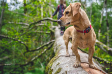 Dog Standing On A Tree Log