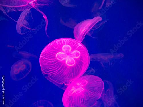 Fotografie, Obraz  Pink jellyfish in on blue background