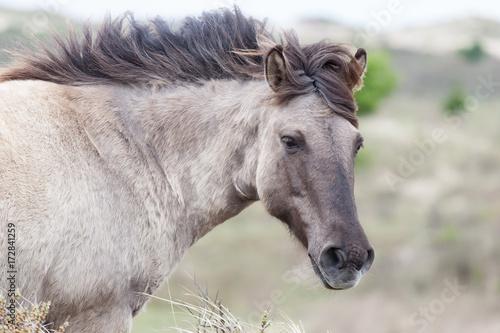 Fototapety, obrazy: Wildpferd
