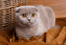Gray Cat With Yellow Eyes Scot...