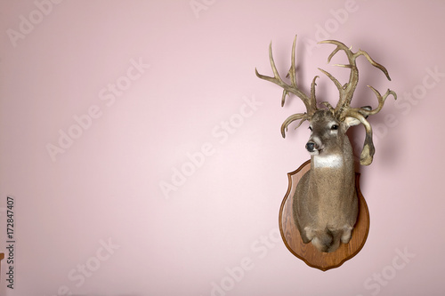 Fotografie, Obraz  Wall mounted stag head with antlers and copy space