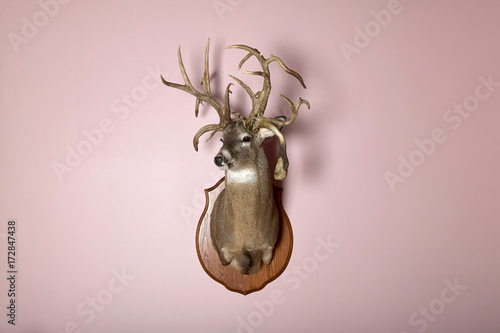 Valokuva  Wall mounted deer head with antlers and copy space