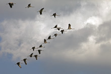A Flock Of Beautiful Storks In...