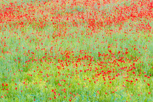 Colorful Poppies Field