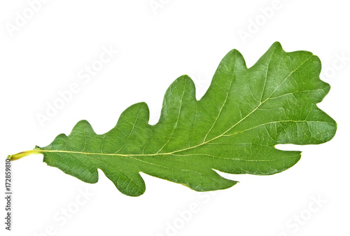 Green oak leaf isolated on a white background
